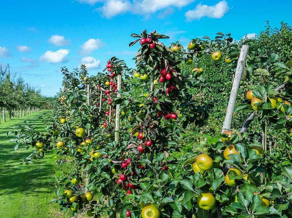 三村リンゴ園